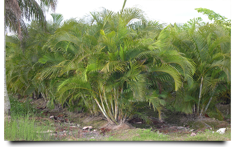 areca palm trees naples