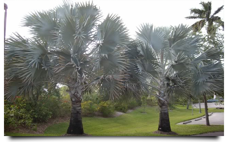 silver bismarck palm trees naples