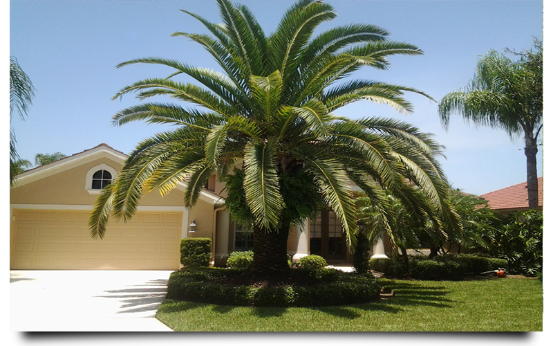 canary palm trees naples