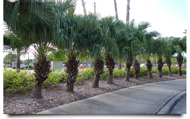 chinese palm trees naples